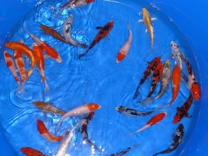 10-12 cm Koi Mix (Israel Non Vaccinated)